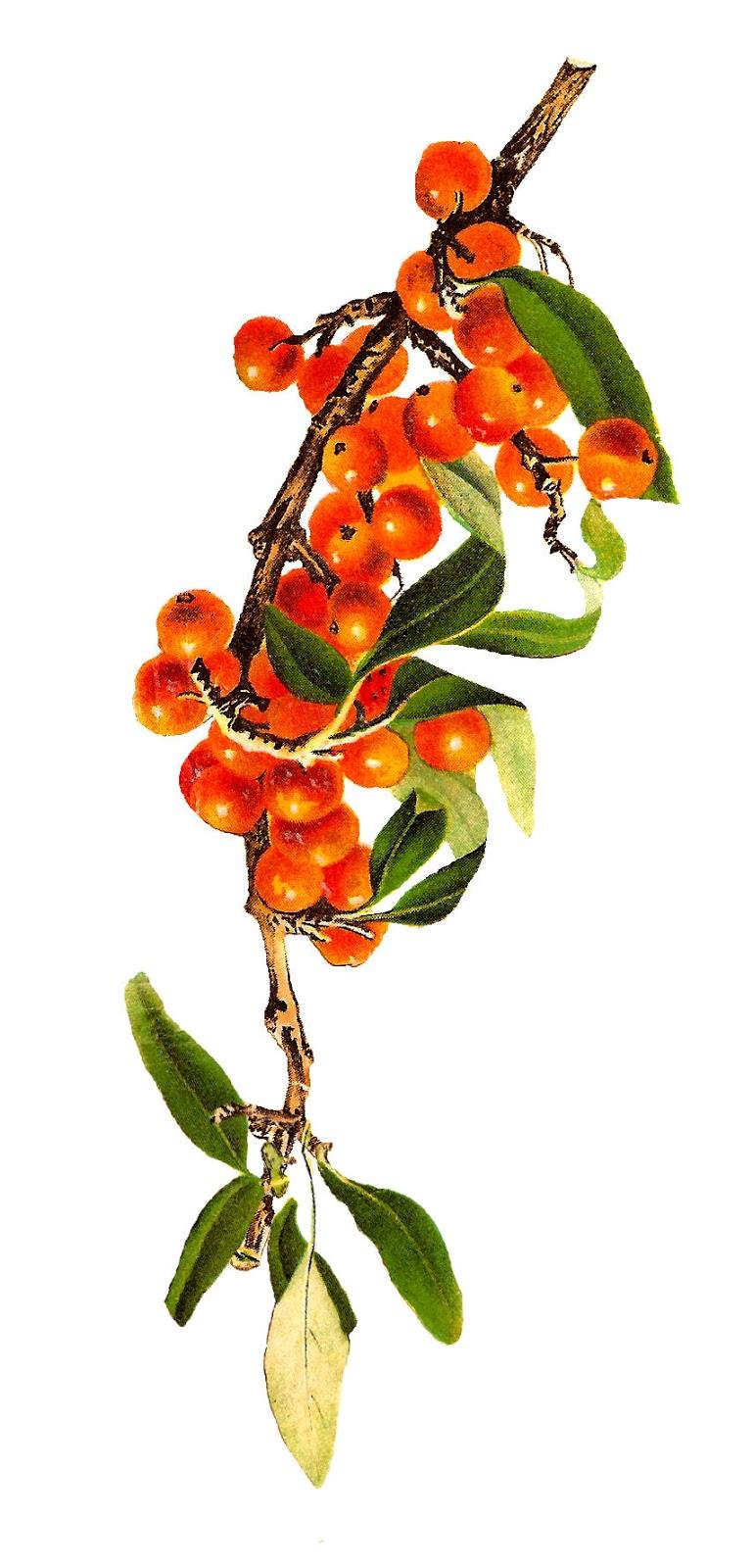 Antique Images: Antique Fruit Illustrations Strawberry Rowan Berry.