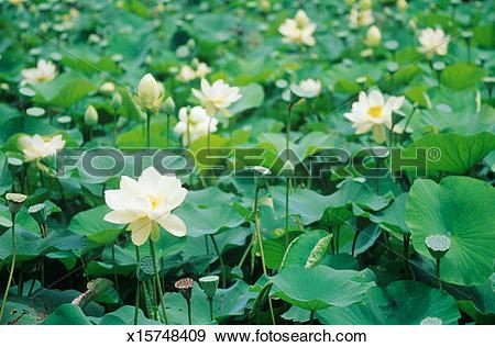 Stock Photograph of Australia, Sidney, Royal Botanic Garden, Lotus.