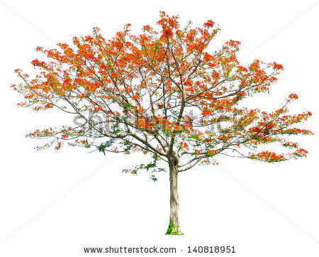 Royal Poinciana Flamboyant Tree Delonix Regia Stock Photo.