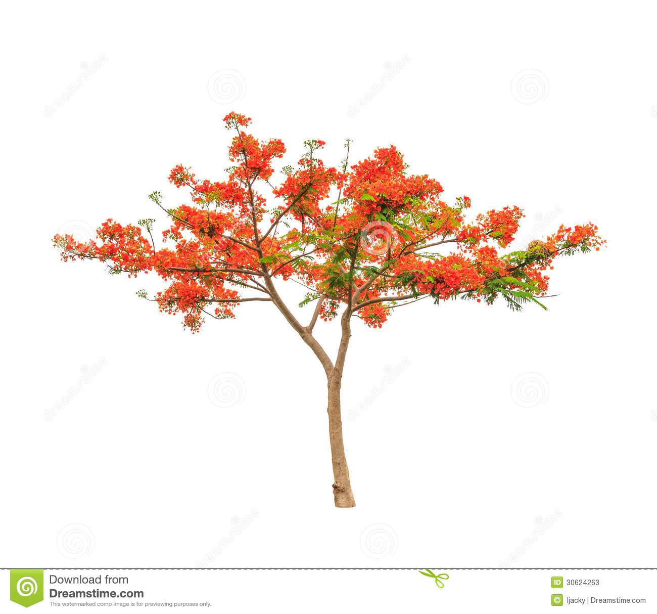 The flamboyant tree clipart.