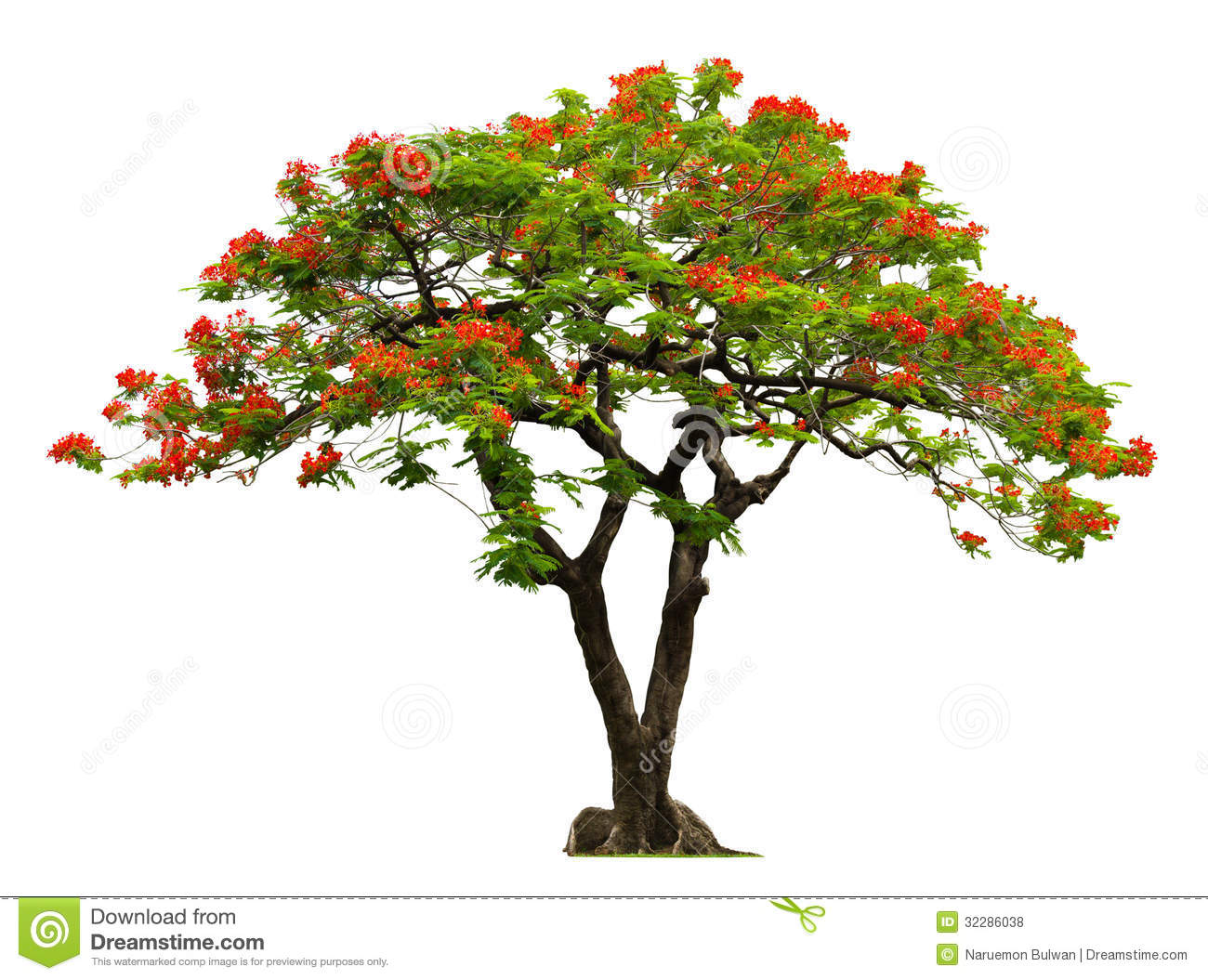 Royal Poinciana Tree Royalty Free Stock Photo.