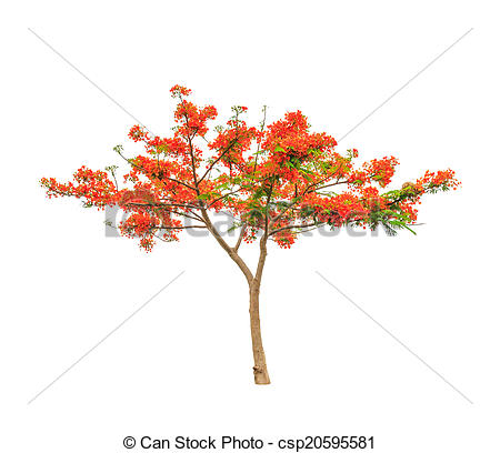 Pictures of Royal Poinciana or Flamboyant tree (Delonix regia.