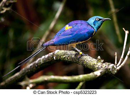 Stock Photos of Blue Purple GoldenYellow Breasted Royal Starling.