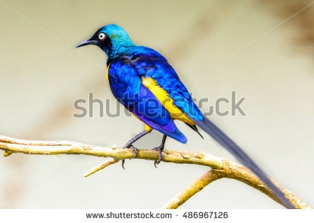 Golden Breasted Starling Stock Photos, Royalty.