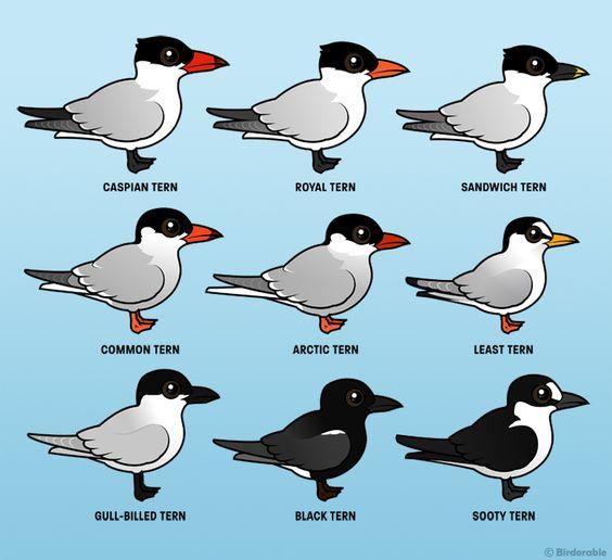 Birdorable Caspian Tern, Royal Tern, Sandwich Tern, Common Tern.