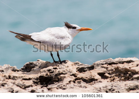 Royal Tern Stock Photos, Royalty.
