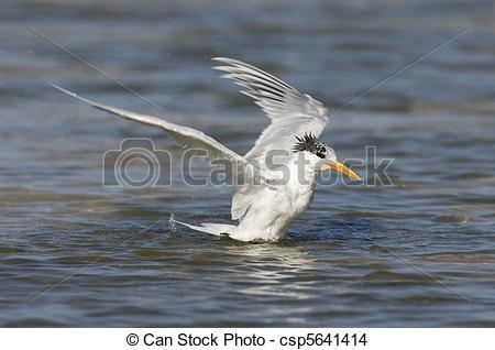 Stock Photo of Royal Tern, Sterna maxima, on beach with blue.