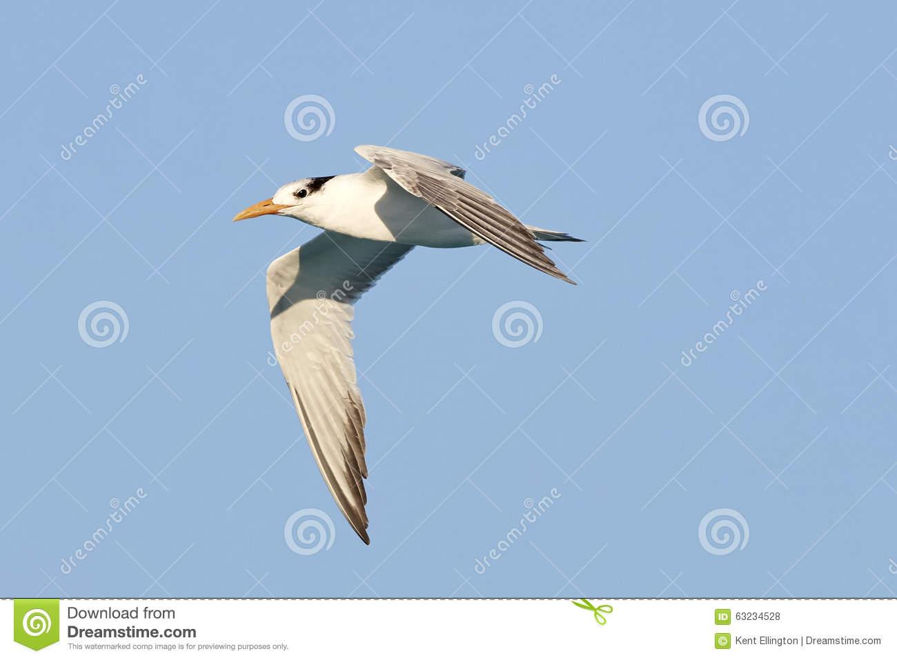 Royal Tern In Flight Against Blue Sky Stock Photo.