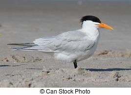 Stock Photos of Royal Tern.