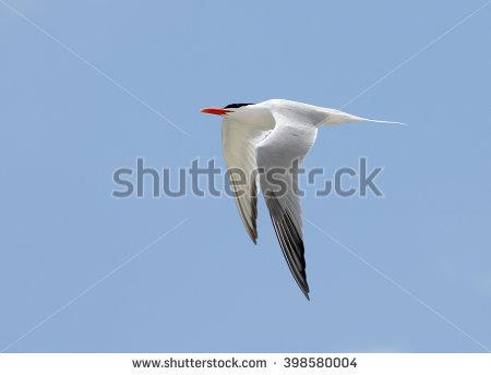 Royal Tern Stock Photos, Royalty.