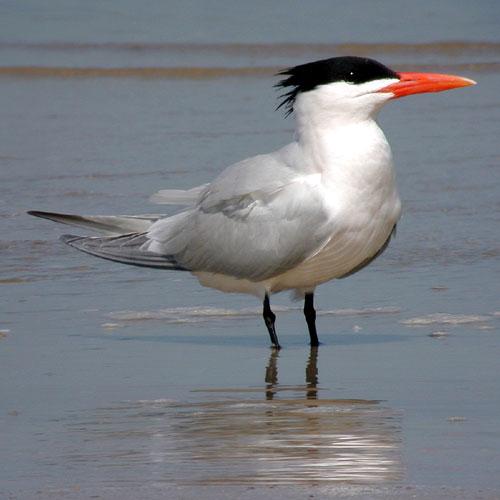 Royal Tern Photos.
