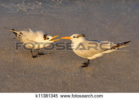 Stock Image of Morning Light on Baby Royal Tern with Mother.