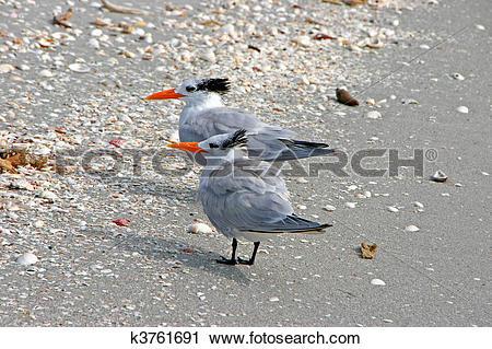 Stock Photography of Royal Tern k3761691.