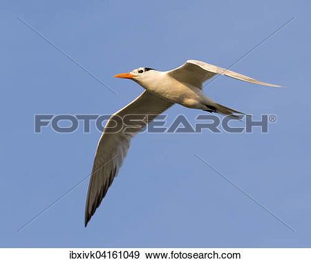 Stock Photograph of Royal Tern (Thalasseus maximus) flying.