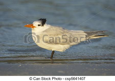 Picture of Royal Tern, Sterna maxima, on beach with blue shallow.