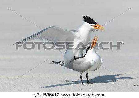 Picture of Royal Terns Sterna maxima mating at Fort Desoto Park.