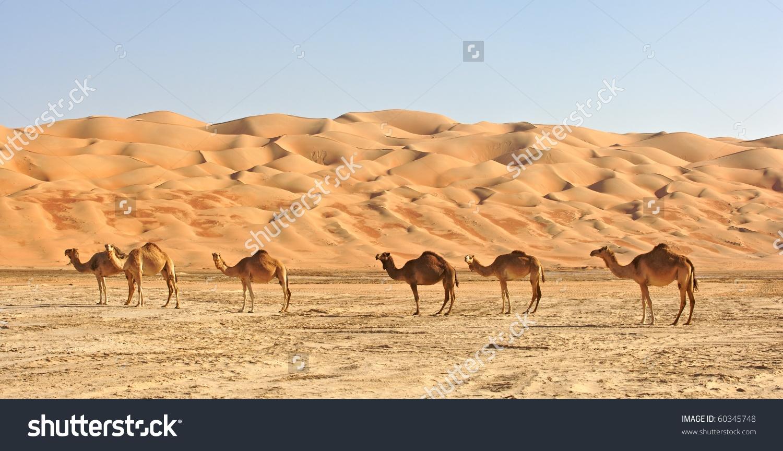 Camels Rub Al Khali Empty Quarter Stock Photo 60345748.