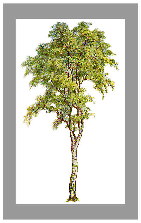 Rubber tree clipart.