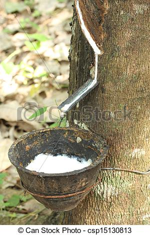 Stock Photography of Milk of rubber tree flows into a bowl.