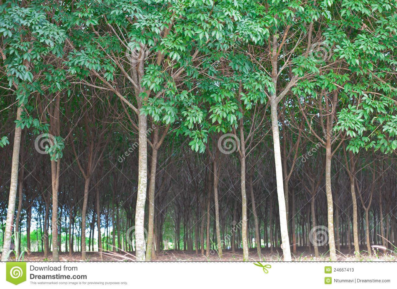 Rubber Tree Rain Forest Stock Photos.