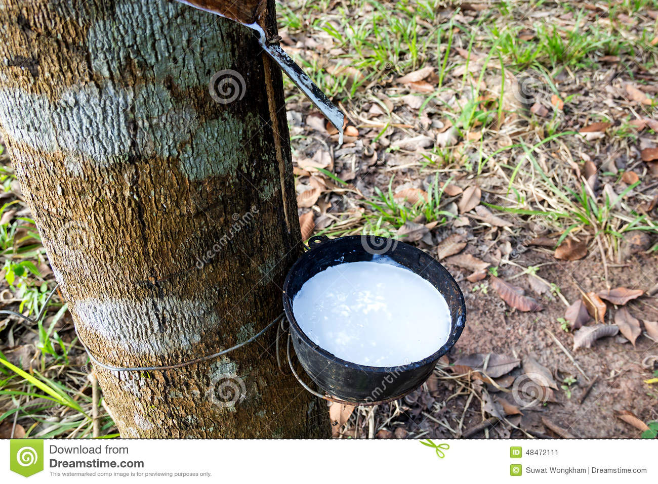 Tapping Sap From The Rubber Tree. Stock Photo.