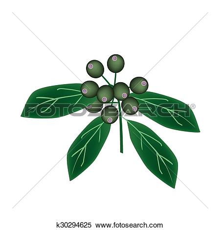 Clipart of Rubiaceae Fruit or Ixora Fruit on Tree k30294625.