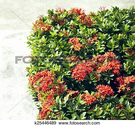 Stock Photograph of Red Ixora coccinea hedge is a species of.