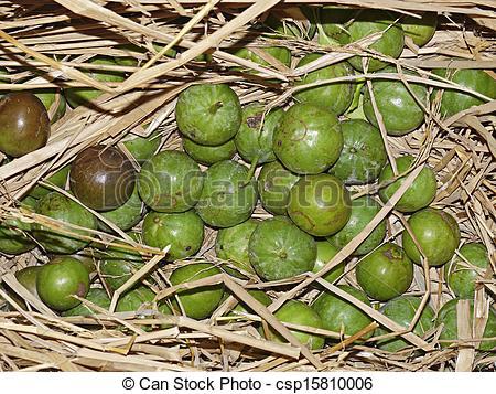 Stock Photography of Alu fruit, Vangueria spinosa, Meyna laxiflora.