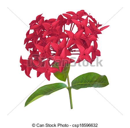 Stock Photos of Red rubiaceae flower isolated.