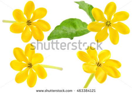 Yellow Gardenia Leaves Stock Photos, Royalty.