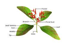 Rubiaceae Stock Illustrations.
