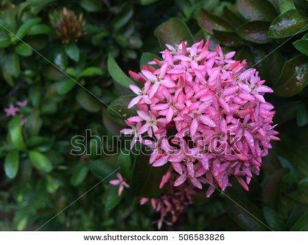 Rubiaceae Stock Photos, Royalty.