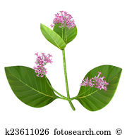 Rubiaceae Illustrations and Clipart. 4 rubiaceae royalty free.