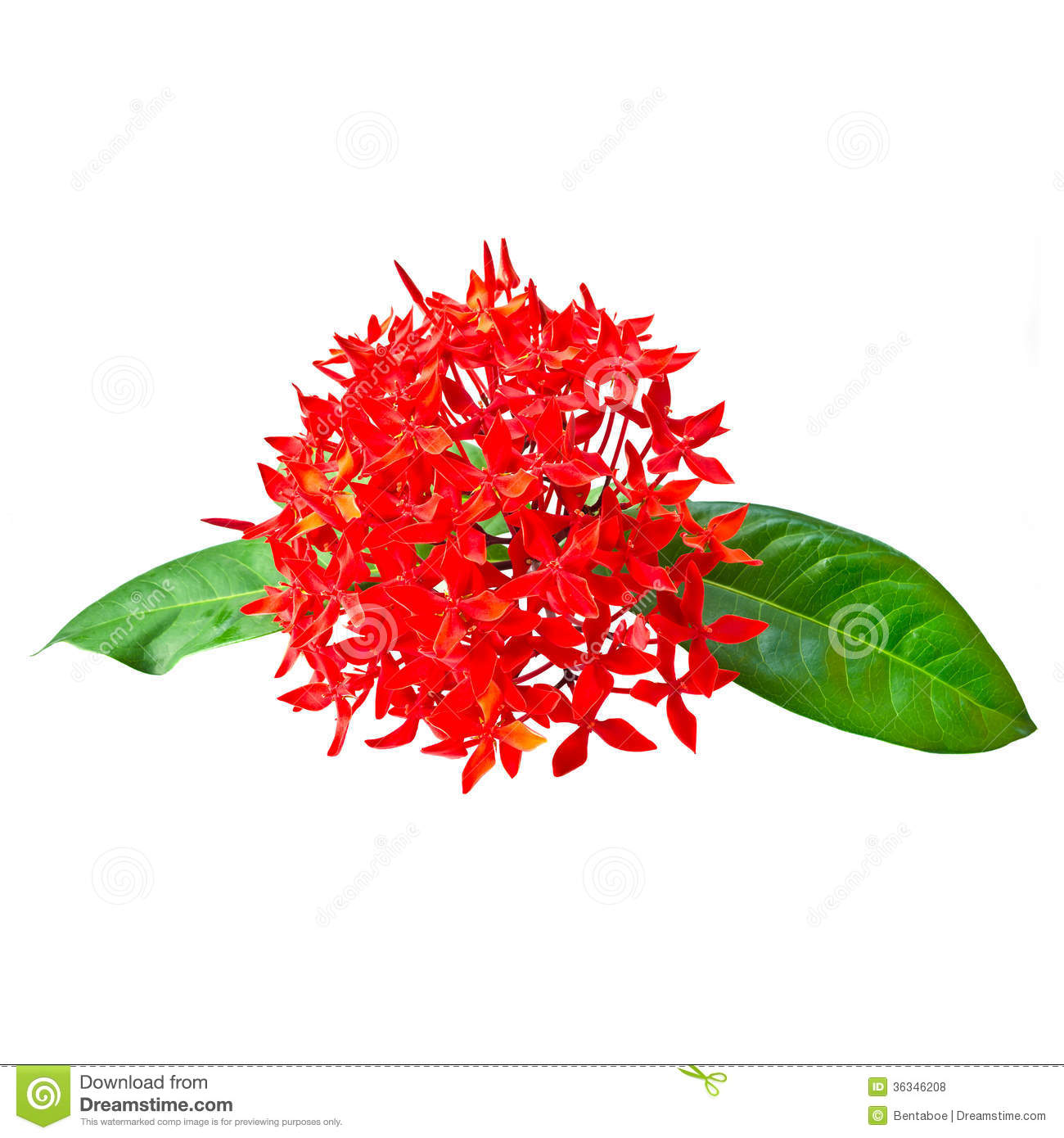 Red Rubiaceae Flower Isolated On White Royalty Free Stock Photos.