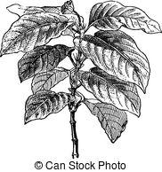Rubiaceae Vector Clip Art Royalty Free. 33 Rubiaceae clipart.