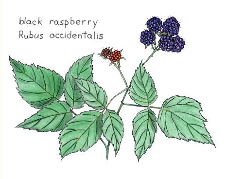 Black raspberry clipart.
