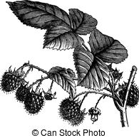 Rubus Illustrations and Clip Art. 48 Rubus royalty free.