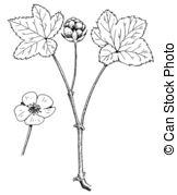 Rubus Illustrations and Clip Art. 44 Rubus royalty free.
