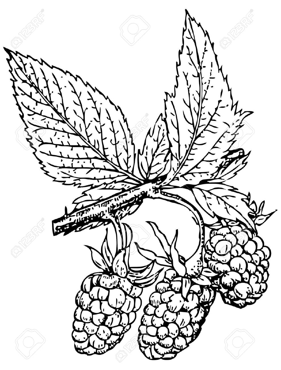 Plant Rubus Crataegifolius (Korean Raspberry) Royalty Free.