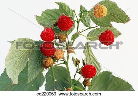 Stock Photograph of Red Raspberry (Rubus idaeus) cd220069.