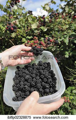 "Stock Image of ""Bramble (Rubus fruticosus), fruit, being picked."