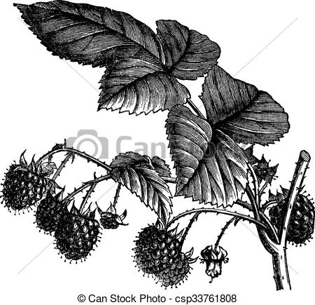 Vector Clipart of Red Raspberry or Rubus idaeus vintage engraving.
