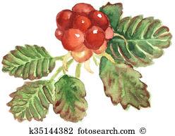 Rubus Illustrations and Clip Art. 6 rubus royalty free.