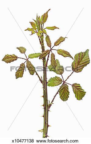 Pictures of Blackberry (rubus fruticosus) sprout x10477138.