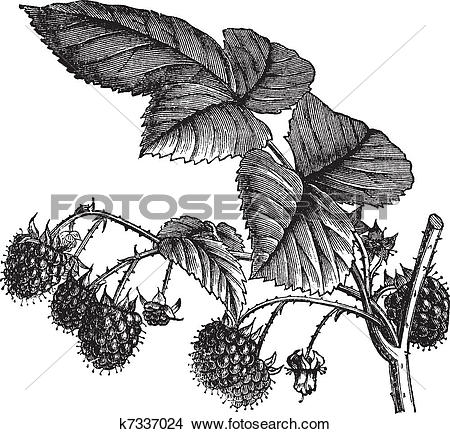 Clipart of Red Raspberry or Rubus idaeus vintage engraving.