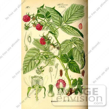 Picture of Raspberry, European Raspberry, Red Raspberry (Rubus.