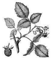 Antique Illustration of Rubus Idaeus (raspberry) stock vectors.
