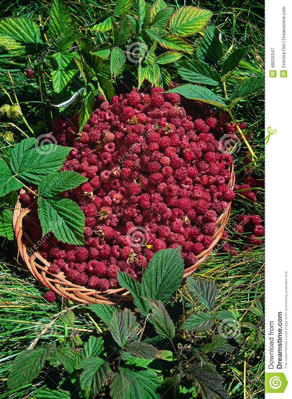 Basket Of Raspberries (Rubus Idaeus) Stock Photo.