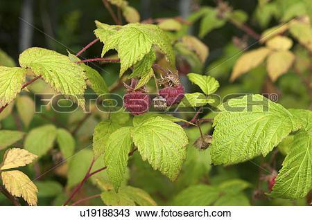 Stock Photo of Wild Red Raspberry (Rubus idaeus), Lake Superior.