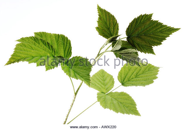 Rubus Idaeus Raspberry Plant Cut Out Stock Images & Pictures.